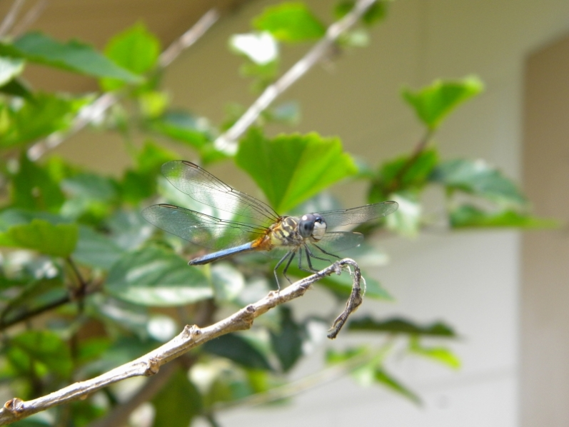 Multi-colored Dragonfly Up Close
