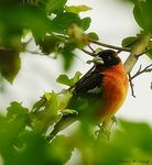 Title: Male Black Headed Grosbeak