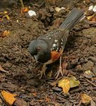 Title: Rufous sided Towhee
