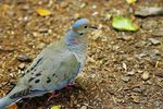 Title: Mourning Dove