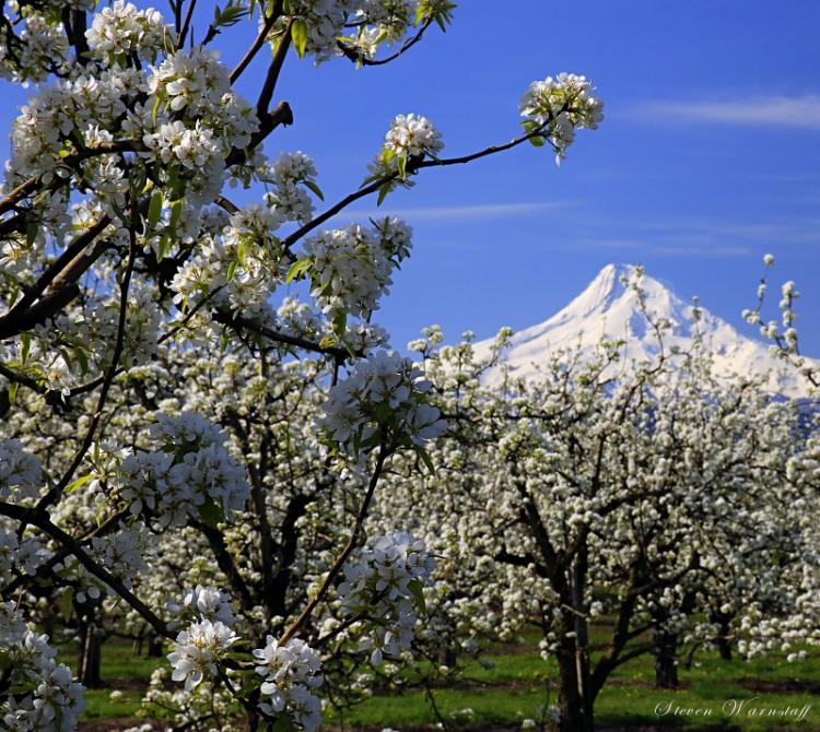 Cherry Blossoms and Mt. Hood