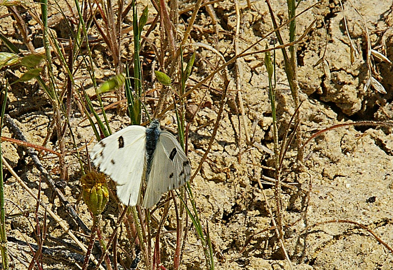 Cabbage Butterfly?