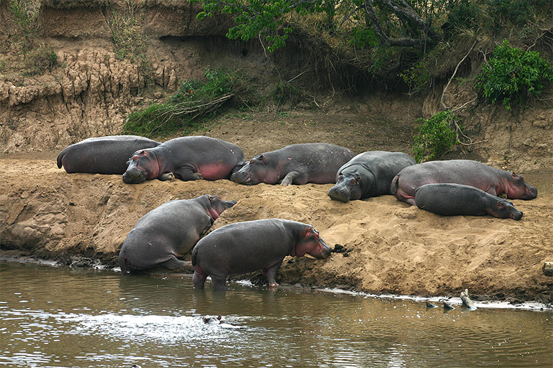 Lazy Hippo Afternoon...