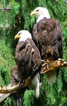 Title: American Eagles