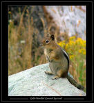 Title: Gold-mantled Ground Squirrel