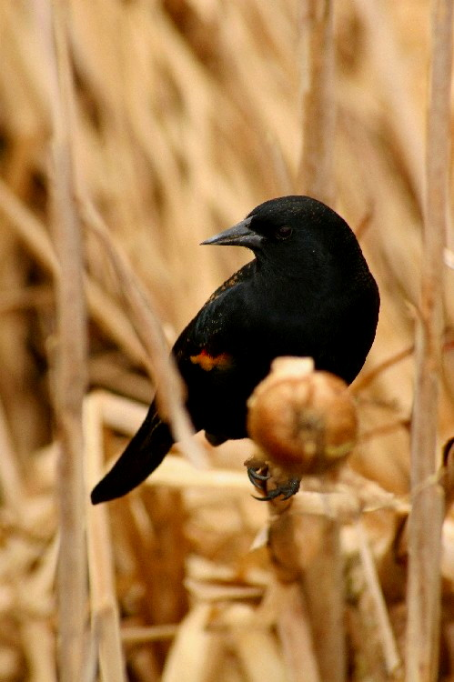 red wing blackbird again