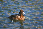 Title: scaup