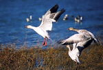 Title: snow geese take off