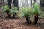 Title: Grass trees