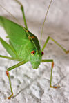 Title: Bush Cricket