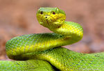 Title: Bamboo pit viper