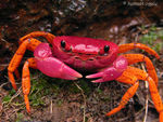 Title: Colourful crab - ID please