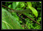 Title: Damselfly???Male/Female??