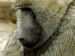Title: Baboon