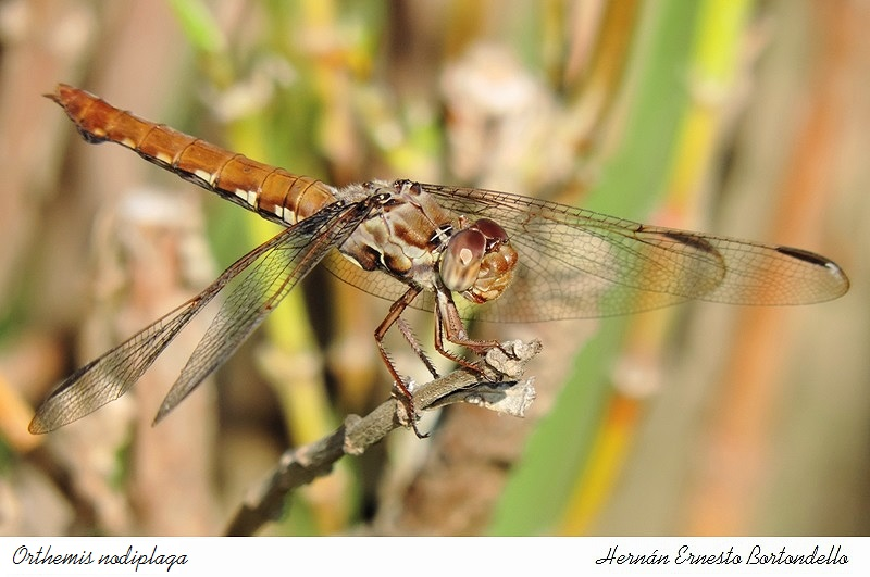 Orthemis nodiplaga (female)