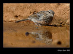 Title: Rock Bunting