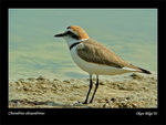 Title: Kentish plover