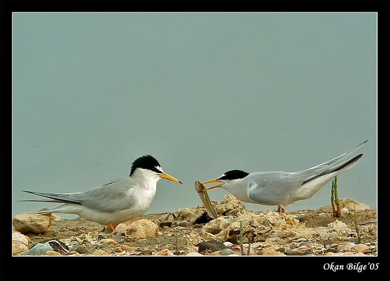little tern-gift-