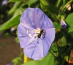 Title: bee and blue flower