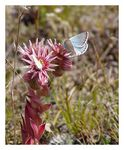 Title: sempervirum with butterfly