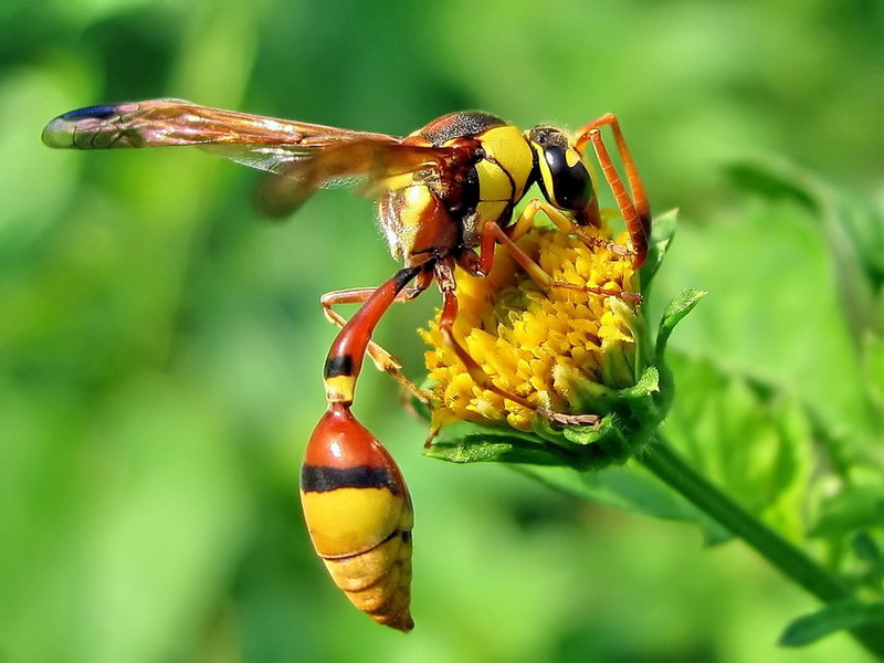 wasp In yellow Flower
