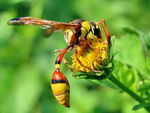 Title: wasp In yellow Flower