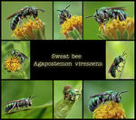 Title: Sweat Bees