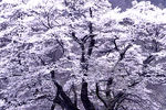 Title: snow tree
