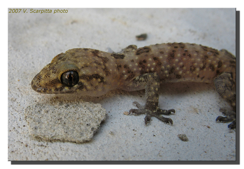 small gecko