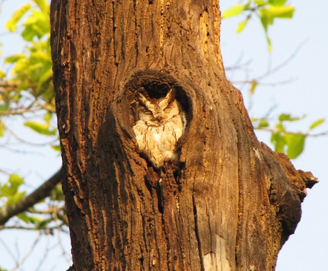 Indian Collared Scops Owl