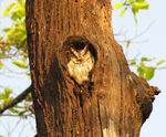 Title: Indian Collared Scops Owl