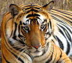 Title: Royal Bengal TigerCanon Powershot SX 20 IS
