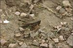 Title: Brown Grasshopper (Mudhopper!)
