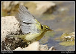Title: Willow Warbler