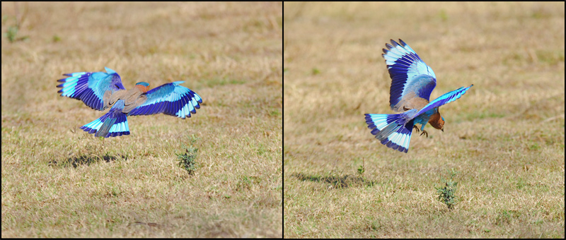 Indian roller preying