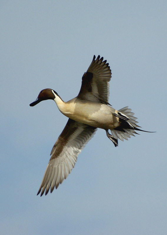 duck pintail