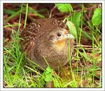 Title: gray partridge