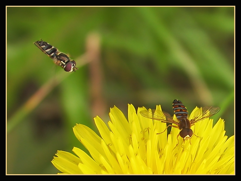 Two Different Species of Hoverfly