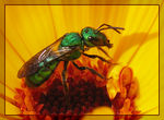 Title: Augochlora on Marigold Flower II Camera: Canon Powershot Pro1