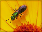 Title: Augochlora on Marigold Flower to Saguzar Camera: Canon Powershot Pro1