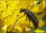 Title: Shaggy Beetle on Dandelion Flower