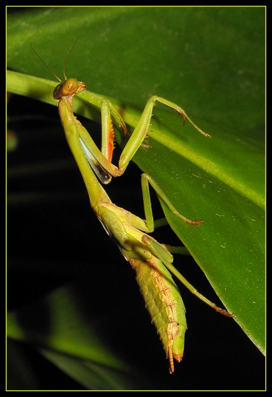 150th Post� Mantis without Wings