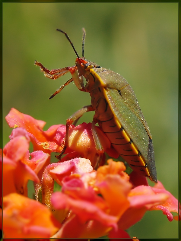 Stink Bug on Lantana Flowers