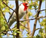 Title: Red-crested Cardinal