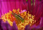 Title: Tiny Grasshopper on Hottentot Fig