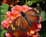 Title: Small Lace-wing on Lantana Flower