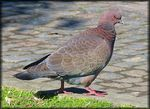 Title: Rock Dove