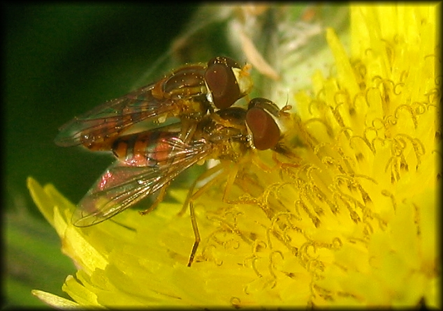 Hoverfly�s love