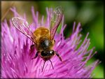Title: Bee on a thistle