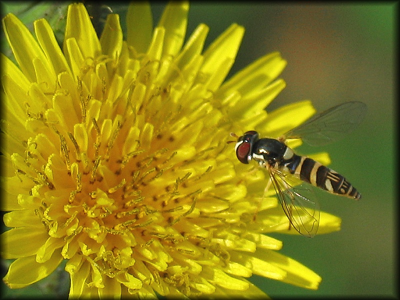 Hoverfly or Totem
